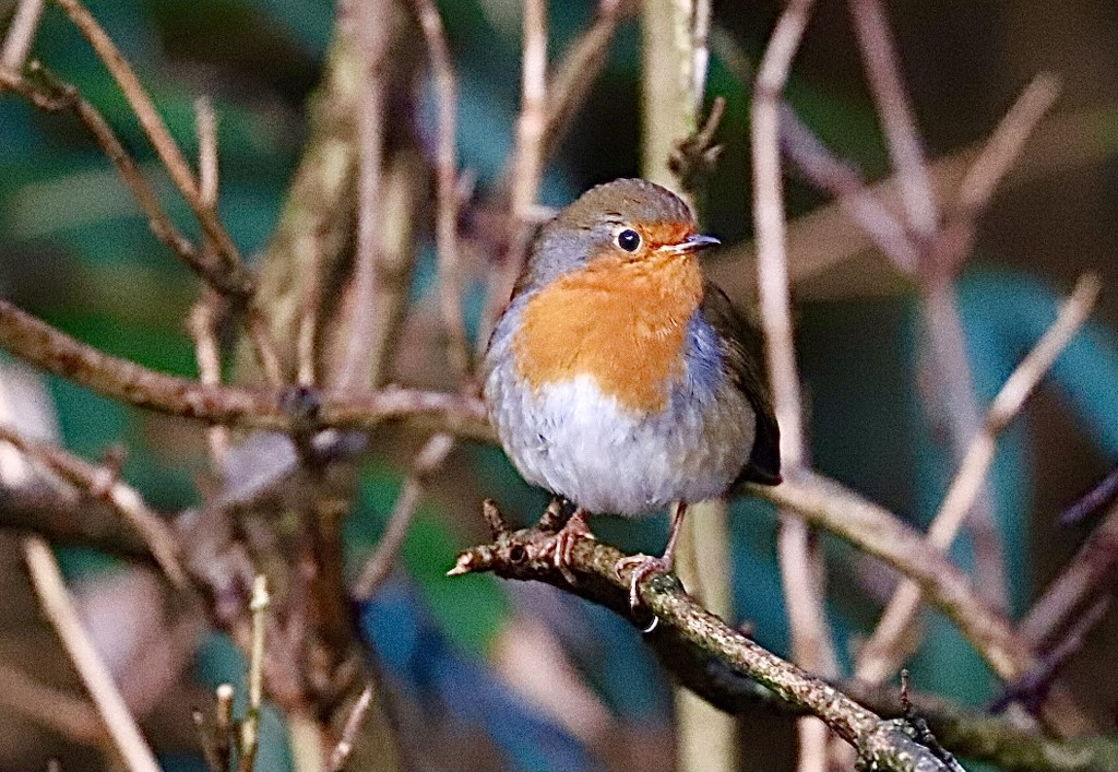 Hartsholme Robin by carole_sandford