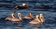 29th Dec 2020 - Pelicans Chasing the Crab Boat!