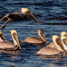 Pelicans Chasing the Crab Boat! by rickster549