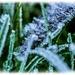 Crystal Leaves (best viewed large on black) by carolmw