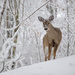 Curious deer by dutchothotmailcom