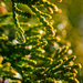 Raindrops on Cedar tree in front by theredcamera