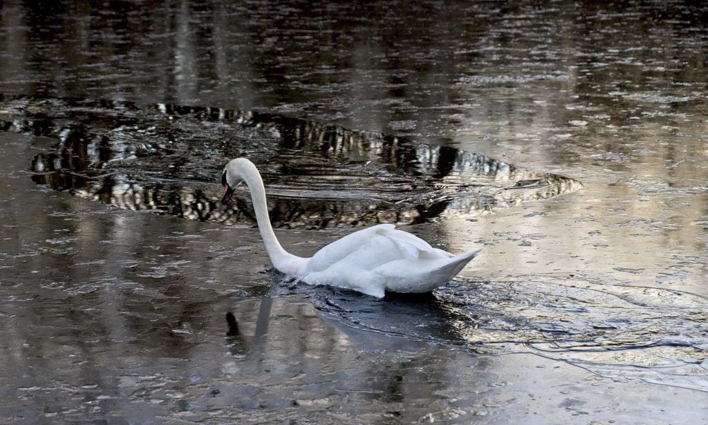 Swan in Ice by stevehurst