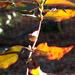 Painted wild jasmine vine...