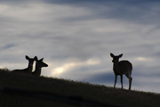 30th Dec 2020 - Deer in the Gloaming
