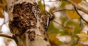 30th Dec 2020 - Woodpecker Blending In!