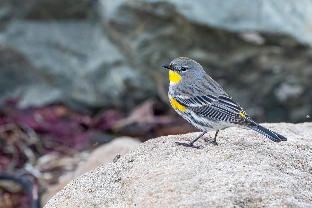 Yellow-rumped Warbler by nicoleweg