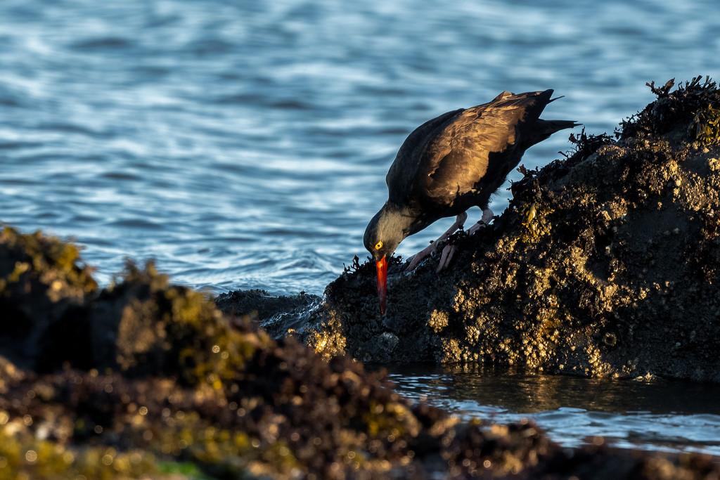 Oystercatcher by nicoleweg