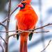 mr. cardinal by jernst1779