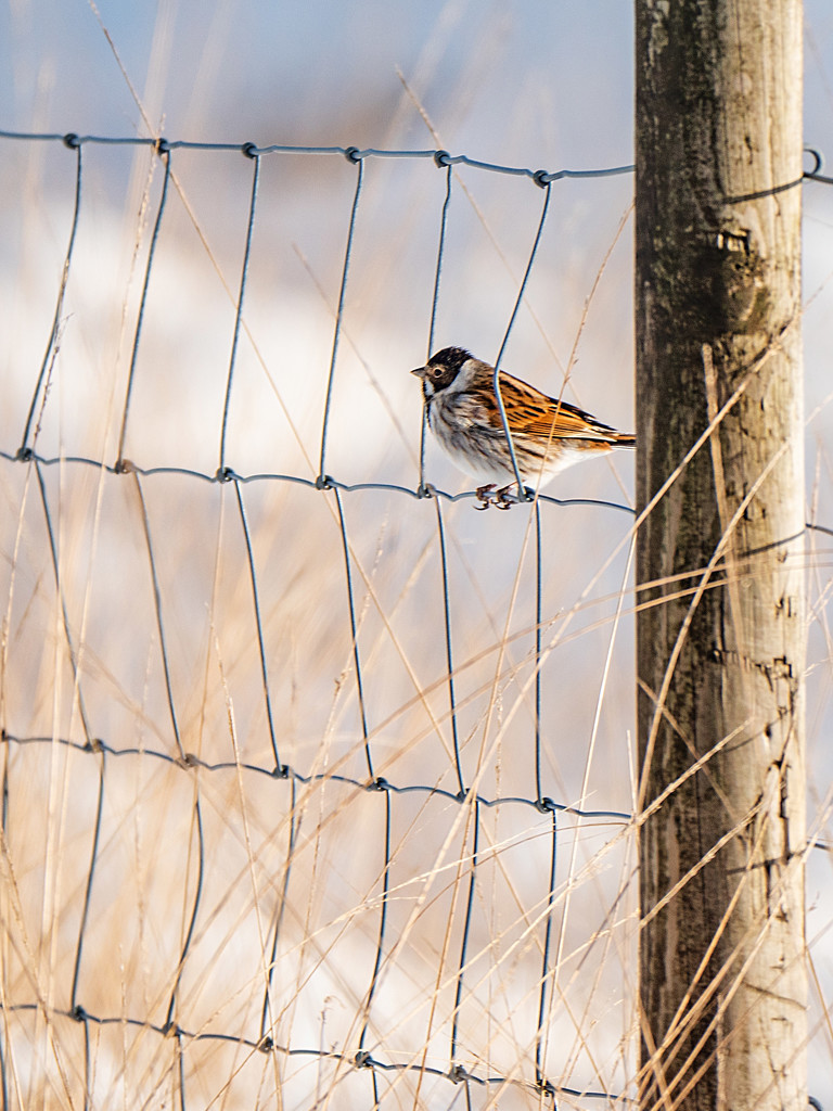 Reed Bunting. by gamelee