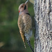 Northern Flicker by lsquared