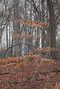 28th Dec 2020 - Winter Trees: American Beech