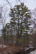 31st Dec 2020 - Winter Trees: White Pine