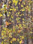 1st Jan 2021 - Water oak leaves still holding on...