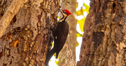 31st Dec 2020 - Mr Pileated Woodpecker, Punching Holes!