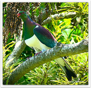 1st Jan 2021 - Kereru...New Zealand Wood Pigeon..