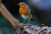 1st Jan 2021 - FIRST ROBIN OF 2021