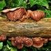 Wood Ear  by julienne1