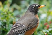 1st Jan 2021 - Rockin' Robin (Tweet Tweet Tweet)