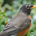 Rockin' Robin (Tweet Tweet Tweet) by lsquared
