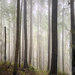Foggy Forest  by jgpittenger