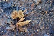 1st Jan 2021 - Sweet Chestnut