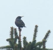 1st Jan 2021 - starling