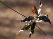 2nd Jan 2021 - Wild jasmine in winter...