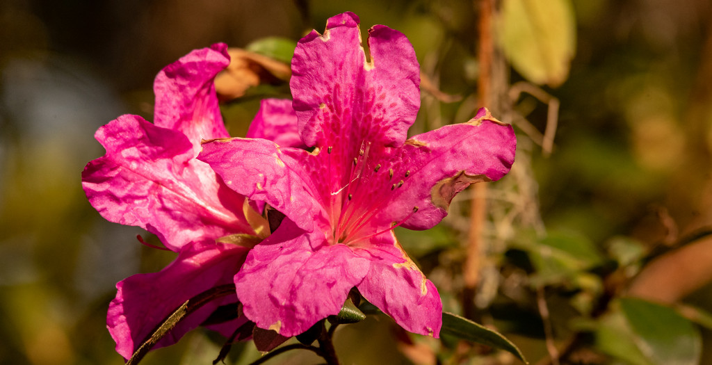 Still Have Azaleas Blooming, Even After the Frost! by rickster549