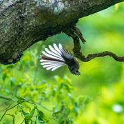 2nd Jan 2021 - Upside-down Fantail