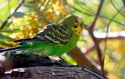 1st Jan 2021 - Parakeet or Budgie?