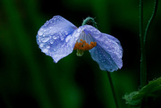 2nd Jan 2021 - Himalayan blue poppy