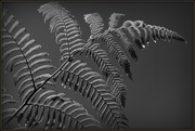 1st Jan 2021 - NZ silver fern