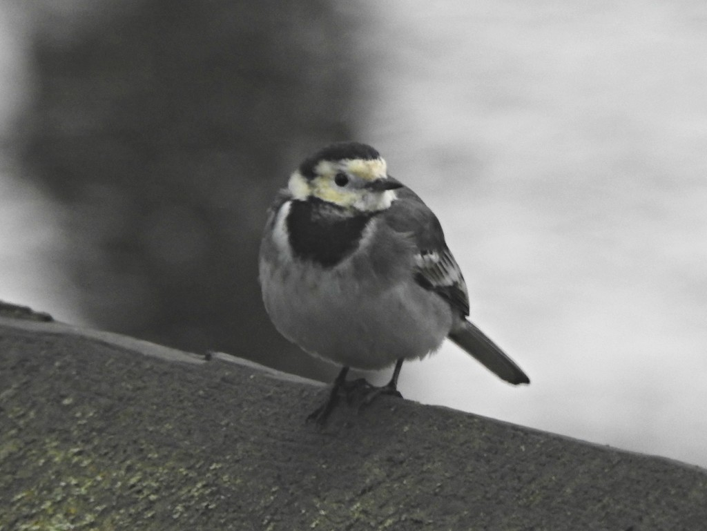 Pied Wagtail by oldjosh