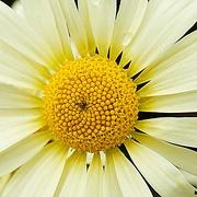 2nd Jan 2021 - heart of a daisy