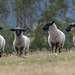Black Face sheep by gosia