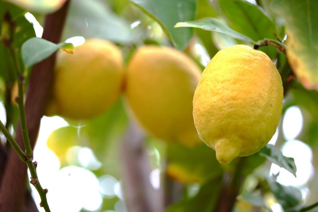 Lemon tree by blueberry1222