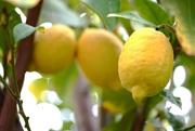 3rd Jan 2021 - Lemon tree