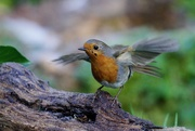 2nd Jan 2021 - SECOND ROBIN OF 2021
