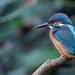 Hartsholme Park Kingfisher  by phil_sandford