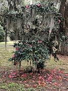2nd Jan 2021 - Camellia surrounded by live oaks and Spanish moss at the state park