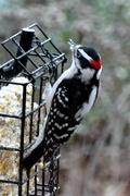 2nd Jan 2021 - Woodpecker eating suet.
