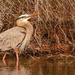 Blue Heron Trying to Get a Limb! by rickster549