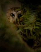 2nd Jan 2021 - Northern Saw-whet Owl