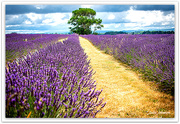 3rd Jan 2021 - Lavender Fields...