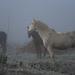 Horses in the mist by parisouailleurs