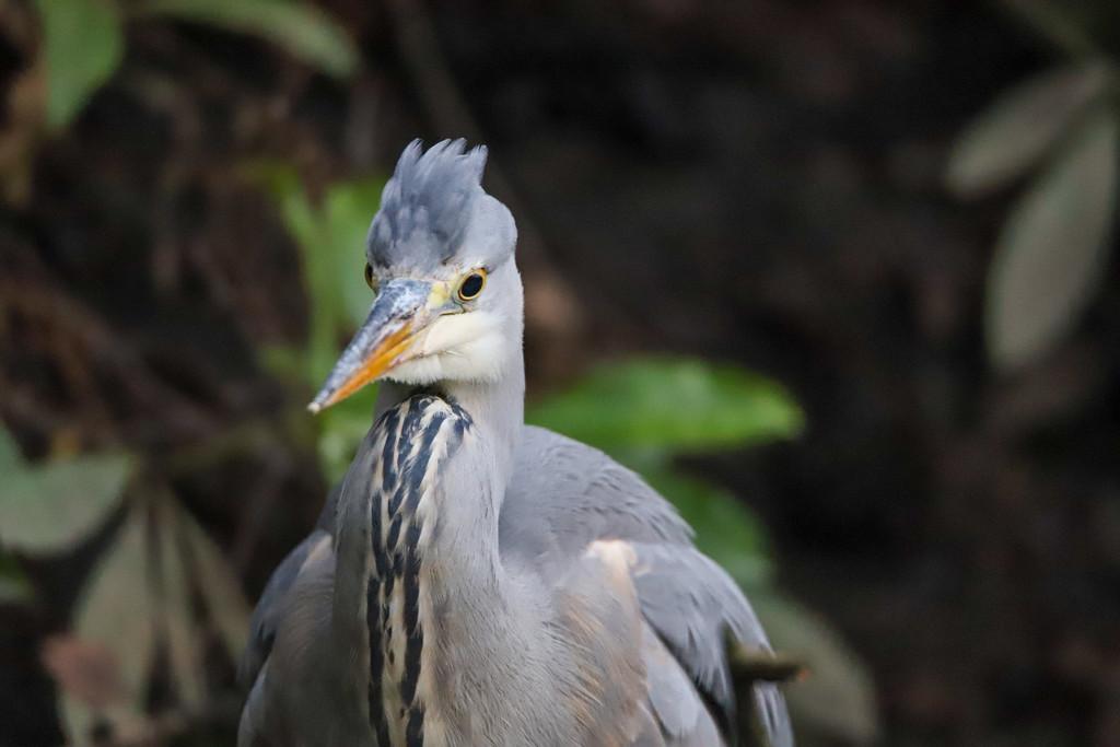 Grey Heron by phil_sandford