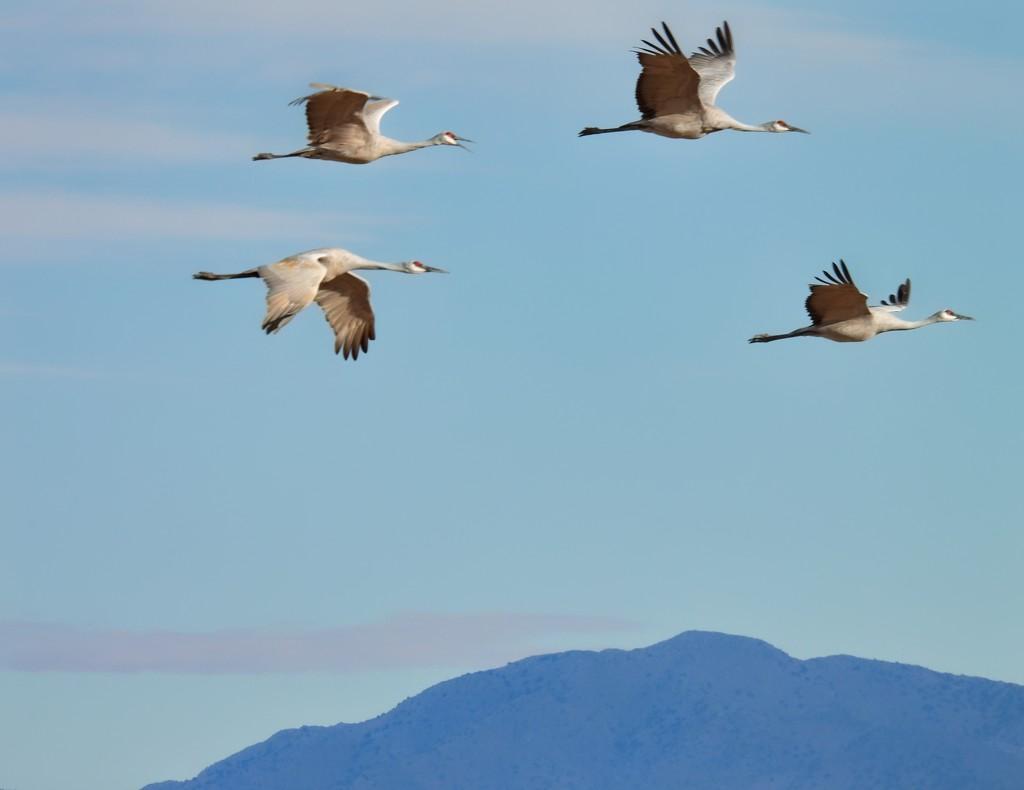 Sandhill Cranes by janeandcharlie