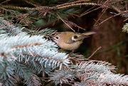 3rd Jan 2021 - FIRST GOLDCREST OF THE YEAR