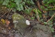 1st Jan 2021 - White throated Dipper...........